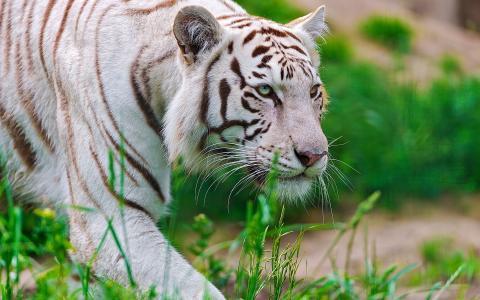 枪口,老虎,捕食者,白色,等待老虎