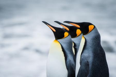 企鹅,南极洲,皇家