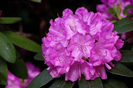 杜鹃花,花序,宏观