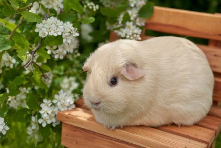 豚鼠,大便,鲜花