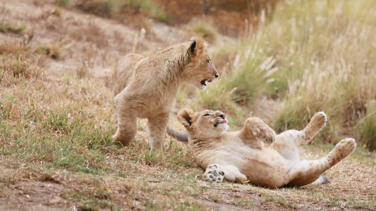 狮子,野猫,捕食者,幼崽,孩子,夫妇,游戏