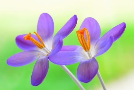 番红花,花瓣,宏