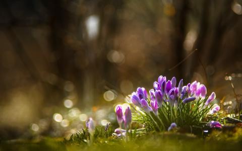 鲜花,春天,番红花