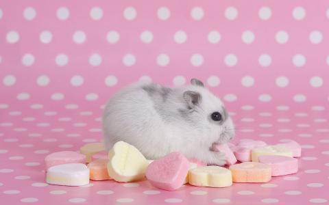 仓鼠,好吃的东西