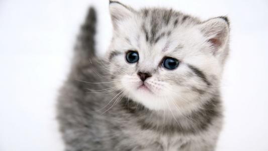 小尾巴,小猫