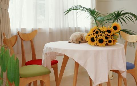 向日葵,小狗,桌子