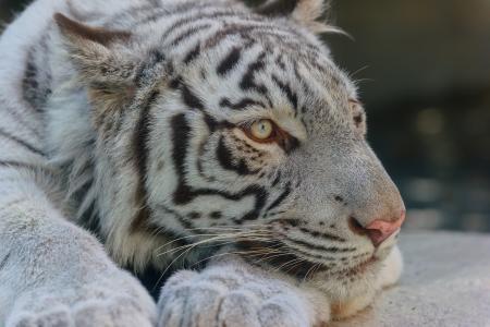 白虎,老虎,野猫,捕食者,枪口,爪子,休息