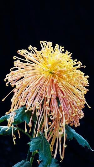 重阳节灿烂迷人菊花