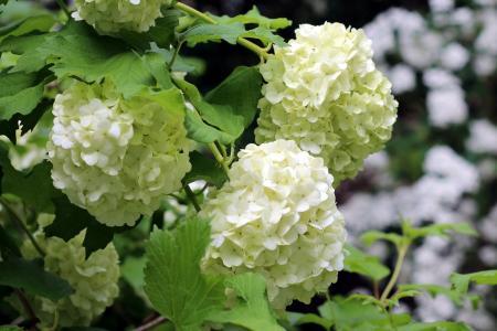绣球花,花序