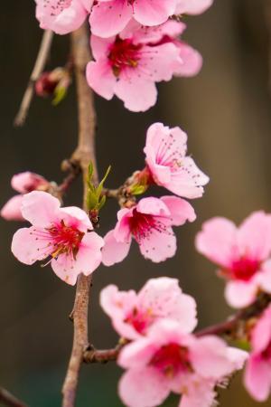 娇嫩唯美的樱花