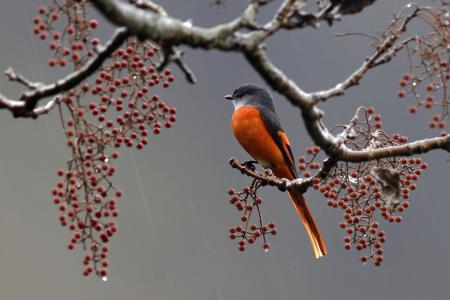 羽毛,分支,浆果,鸟,雨