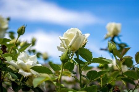 白玫瑰,玫瑰,花蕾