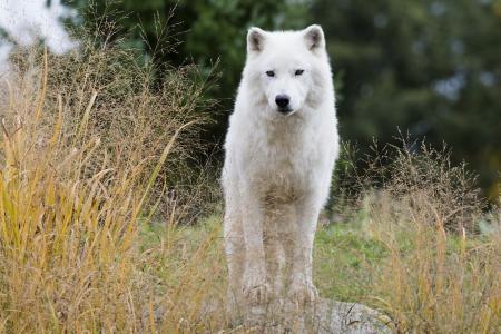 白狼,狼,捕食者,观察