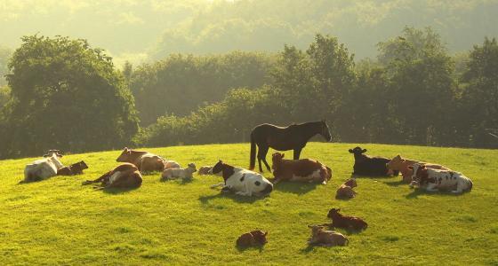 夏天,村庄,牛,牧场