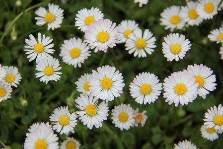 清新小巧的菊花