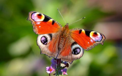 孔雀眼睛,蝴蝶,花,宏