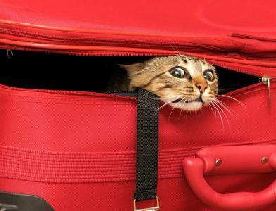 猫,手提箱,看,惊喜