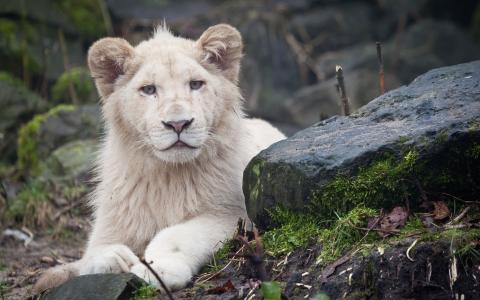 狮子幼崽,壁纸