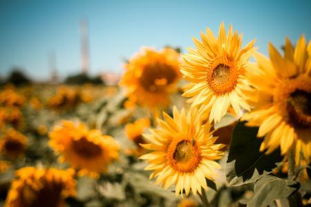 向日葵,夏天,性质,领域,鲜花