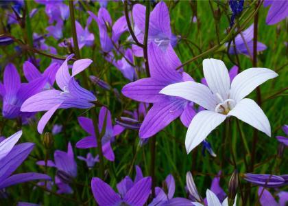 钟声,花朵,植物