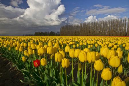 黄色的郁金香,场,郁金香,树木