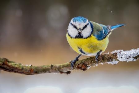 鸟,颜色,冬天,山雀,分支,羽毛