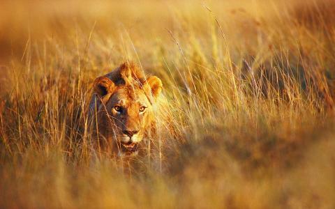 干草,狮子