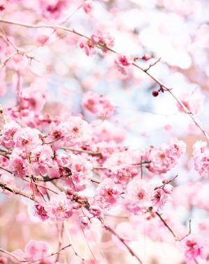 绽放的粉红梅花