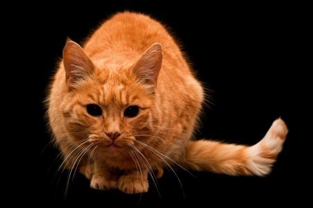 猫,姜猫,看