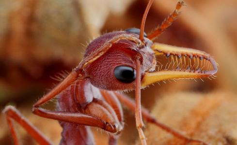 动物,昆虫,自然,蚂蚁,下巴