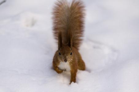蓬松,雪,尾巴,红色,松鼠