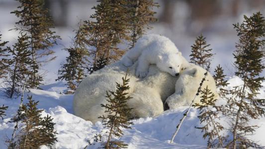 妈妈,宝贝,幼仔,熊,熊,睡觉,北极熊,雪
