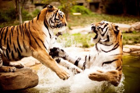 老虎,水,游戏