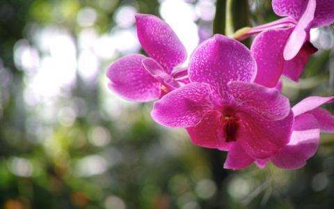 兰花,蝴蝶兰,丁香,花瓣