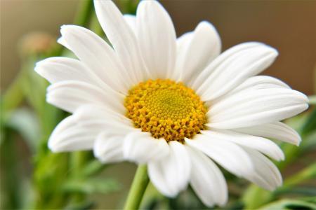 娇嫩清新的雏菊花