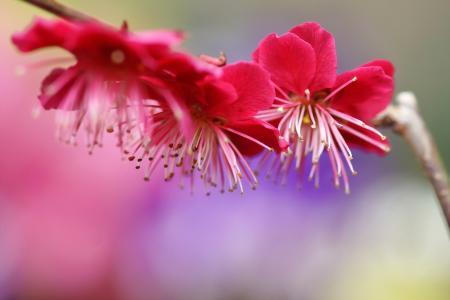 梅花,春天,鲜花,开花,分支机构