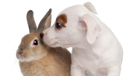 小狗的气味,兔子