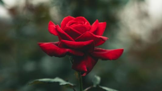 鲜艳如火的红玫瑰