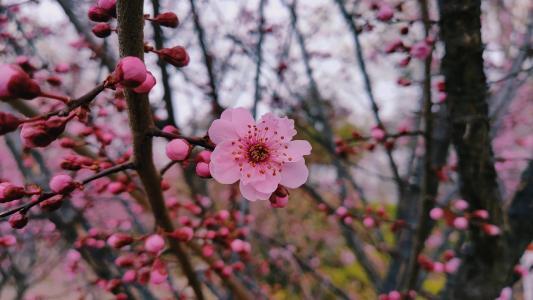 梅花盛开美景