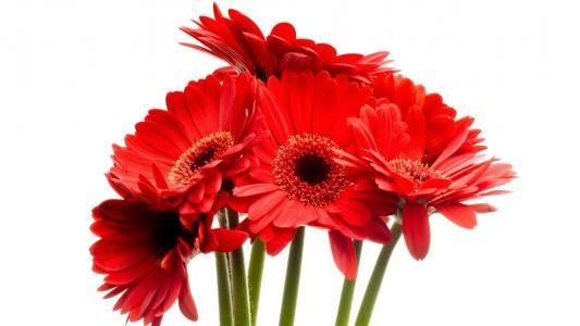 非洲菊,红色,花束