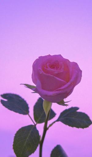 艳丽迷人的玫瑰花