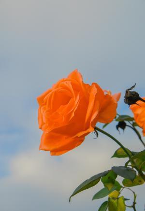 鲜艳迷人的玫瑰花