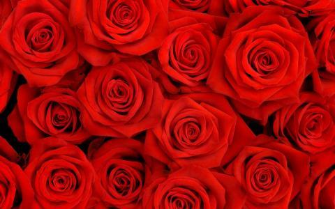 红玫瑰,猩红
