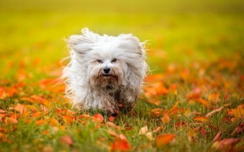 白色,毛茸茸的,狗,草,落叶