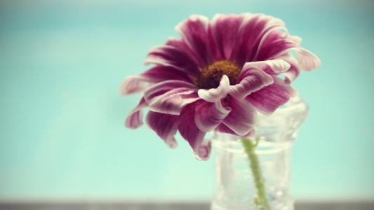 粉红色的雏菊,包裹的花瓣