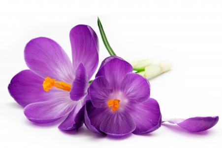 番红花,紫色,花瓣